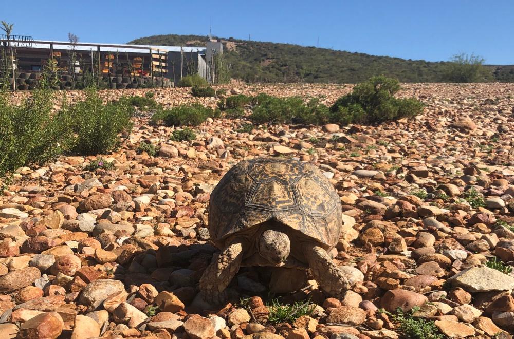 AfriCamps Klein Karoo Oudtshoorn Tortoise