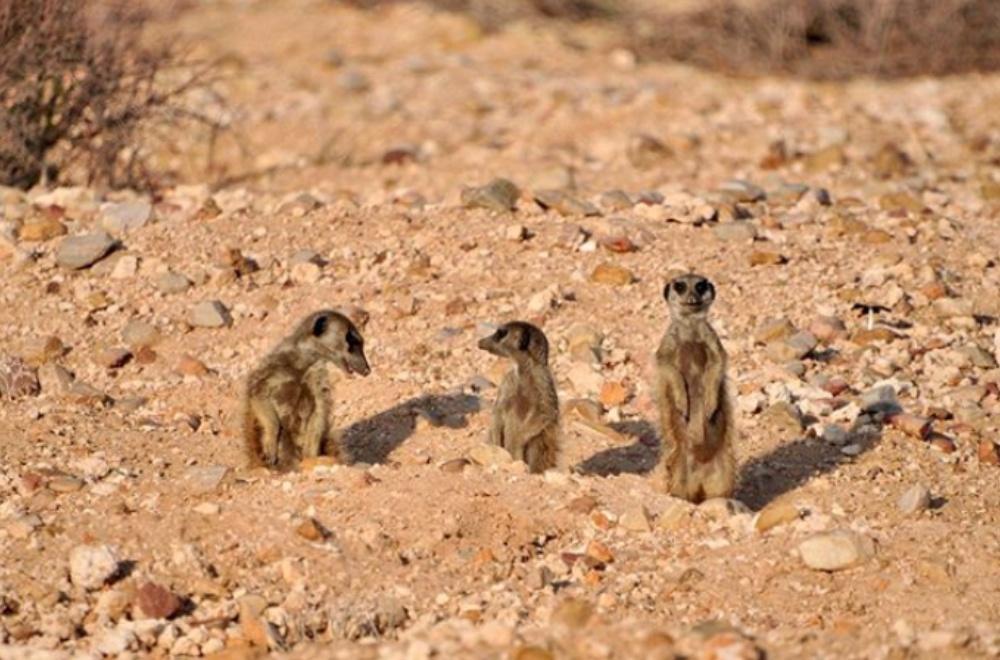 AfriCamps Klein Karoo Oudtshoorn Meerkat Safari