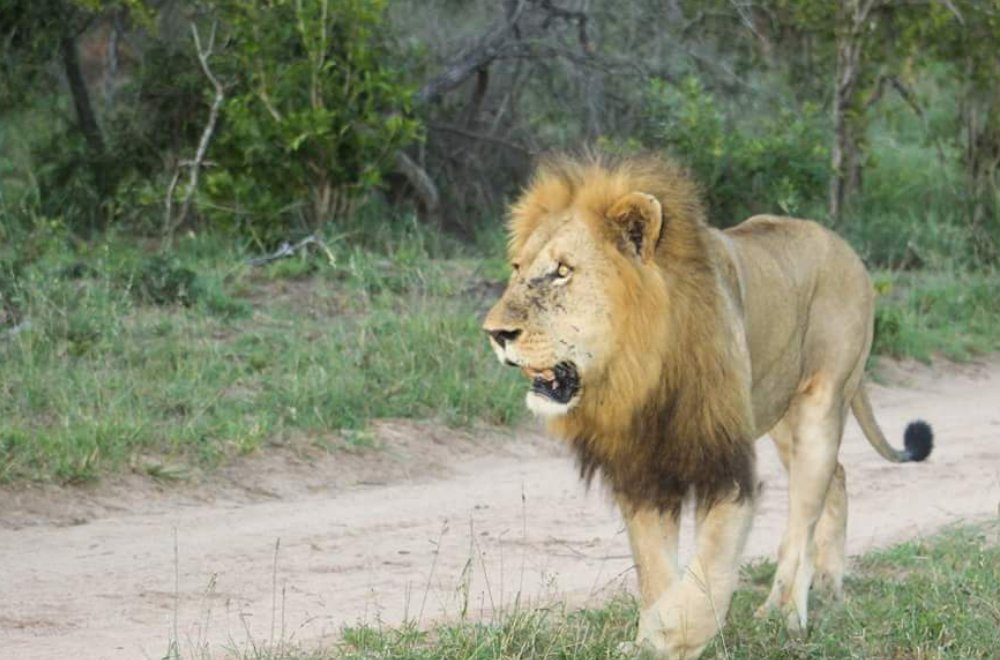 AfriCamps at Mackers Hazyview Lion