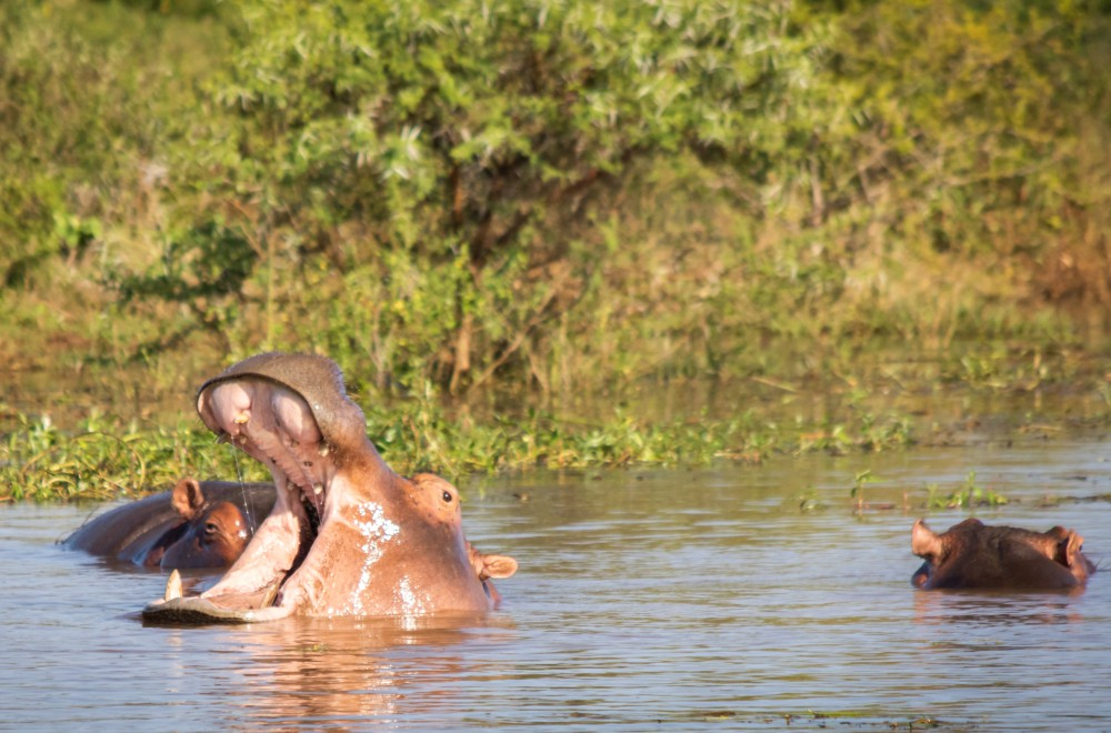 AfriCamps at White Elephant Pongola Glamping Hippos