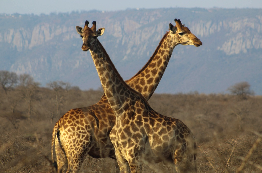 AfriCamps at White Elephant Pongola Giraffes